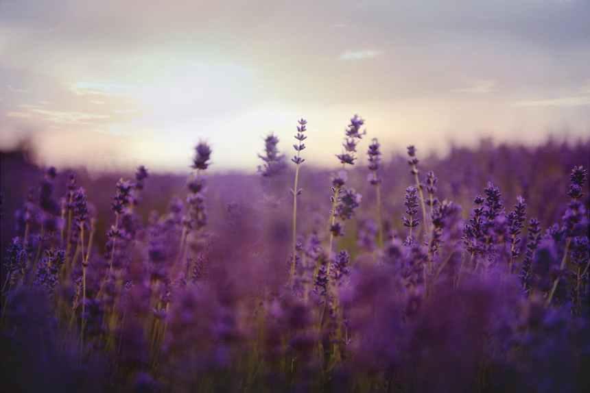 lavender flower field on bloom